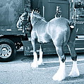 Clydesdale In Black And White by Alice Gipson