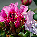Coast Rhododendron by Robert Bales