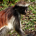Colobus Monkey by Aidan Moran