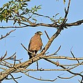 Crested Serpent Eagle by Fotosas Photography