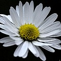 Daisy 2 by Carol Lynch