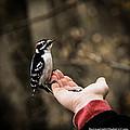 Downy Woodpecker In Hand by LeeAnn McLaneGoetz McLaneGoetzStudioLLCcom