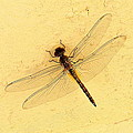 Dragonfly On Yellow Wall by Paul Williams