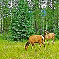 Elk Near Wapiti Campground In Jasper Np-alberta by Ruth Hager