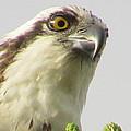 Eye Of The Osprey by Zina Stromberg