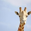Friendly Giraffe by Terry Fleckney