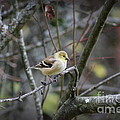 Goldfinch by Leone Lund