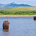 Grizzly Bears Looking At Each Other In Moraine River In Katmai Np-ak  by Ruth Hager
