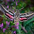 Hummingbird Moth Print by Doug Long