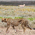 Hungry Red Cheetah by Chris Scroggins