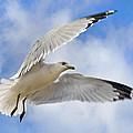 Jekyll Island Seagull by Betsy Knapp