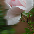 July  Rose Thought by Colette V Hera  Guggenheim