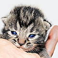 Kitten In A Hand by Susan Leggett