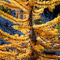 Larch Tree Closeup by Tracy Knauer