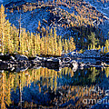 Larch Tree Reflection In Leprechaun Lake by Tracy Knauer