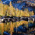 Larch Tree Reflection  by Tracy Knauer