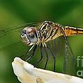 Austrogomphus Dragonfly by Olga Hamilton