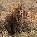Lions Of The Ngorongoro Crater by Aidan Moran