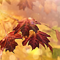 Maple Leaves by Stephanie Frey