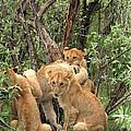 Masai Mara Lion Cubs by Aidan Moran