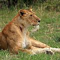 Masai Mara Lioness by Aidan Moran