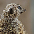 Meerkat by Ernie Echols