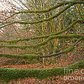 Moss-covered Big Leaf Maple Branches by Tracy Knauer