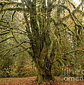 Moss-covered Big Leaf Maple Tree by Tracy Knauer