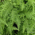 Mountain Ferns Of North Carolina by John Harmon