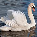 Mute Swan by Roy Pedersen