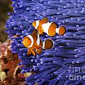 Ocellaris Clownfish by Anthony Totah