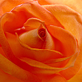 Orange Swirls Rose Flower