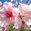 Peach Blossom by Clare Bevan