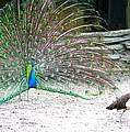 Peacock Making An Impression by Jeanne Kay Juhos