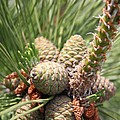 Pine Cones by Christiane Schulze Art And Photography