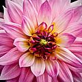 Pink Dahlia by Steve McKinzie