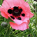 Poppy And Buds by Christiane Schulze Art And Photography