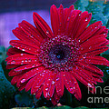 Red Gerbera Daisy by Donna Brown
