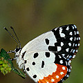 Red Pierrot Butterfly by Anonymous