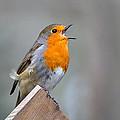 Robin Song by Gavin MacRae
