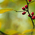 Spicebush With Red Berries by Rebecca Sherman