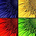 Sunflower Medley by Mark Kiver