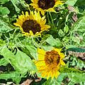 Sunflowers  by Jeelan Clark