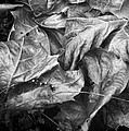Sycamore Leaves In Autumn by Louise Kumpf
