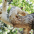 Sycamore Tree's Twisted Trunk by Tom Janca