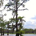 Cypress Trees by Donna Wilson