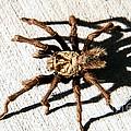 Tarantula by Robert Bales
