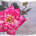 Thumbelina Rose - Miniature Rose by Debbie Portwood
