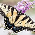 Tiger Swallowtail by Gaurav Singh