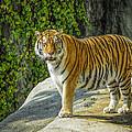 Tiger Tiger by LeeAnn McLaneGoetz McLaneGoetzStudioLLCcom